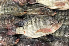 Aquaculture And Tilapia A Fish That May Tip The Balance