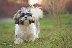 Dogs That Shed Little Hair by Types Of Small Dogs That Are So Cute You U0027ll Cry With Joy