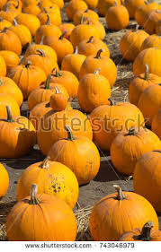 Pumpkin Patch Half Moon Bay Ca by Stock Images Royalty Free Images U0026 Vectors Shutterstock