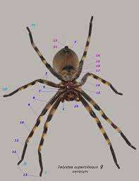 Remains Of The Day Spiders by Spider Wikipedia