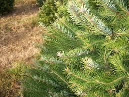 Types Of Live Christmas Trees by About Our Christmas Trees Evergreen Valley Christmas Tree Farm