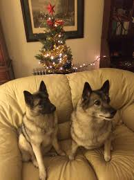 Are Christmas Tree Needles Toxic To Dogs december 2014 lisa unleashed