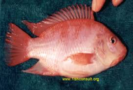 Culture Of Red Tilapia In Mauritius