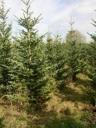 Frasier Christmas Tree Cutting by Naturally Shaped Organic Christmas Trees Plant Something Oregon