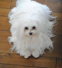 Low Shed Dog Breeds by 19 Best Hypoallergenic Dog Breeds Images On Pinterest