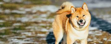 Do Shibas Shed A Lot by Shiba Inu Dog Breed Health History Appearance Temperament
