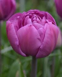 tulip blue flower bulbs dutchgrown皰 tulipaner