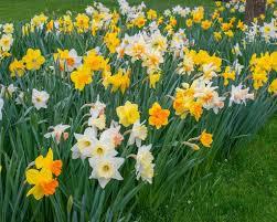 wholesale daffodil bulbs farmer gracy wholesale flower bulbs