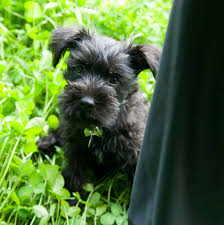 Do Giant Schnauzer Dogs Shed Hair by Miniature Schnauzer Pets At Home