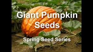 Atlantic Giant Pumpkin Growing Tips by Giant Pumpkin Seeds