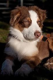 les 64 meilleures images du tableau chiens de berger sur