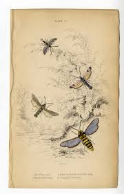 MOTHS JARDINES Bee Breeze Clearwing HORNED Ruby Fly ANTIQUE COLOR