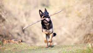 Shedding Blade German Shepherd by Tips To Minimize Shedding In German Shepherds German Shepherd World