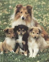 Sheltie Shedding Puppy Coat by Sheltie And Pups Love Them With All My Heart And I Will Have One