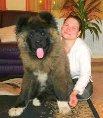 Do Akita Dogs Shed Hair by 17 Best Long Haired Akita Images On Pinterest Akita Dog Akita