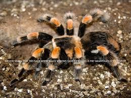 Do Tarantulas Shed Their Legs by Tarantulas By Randy Hollinger