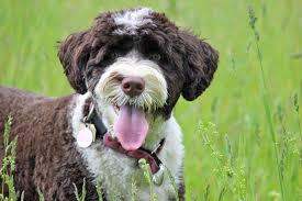 Hypoallergenic Dog Breeds That Dont Shed by 20 Dog Breeds For Allergy Sufferers