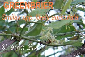EARLEAF GREENBRIER Smilax auriculata