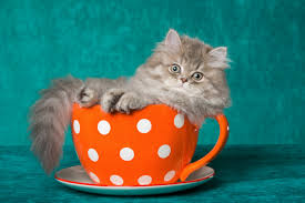 tea cup cat will teacup cats become a disastrous spawned pet trend