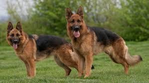 le berger pas cher berger allemand tout sur la race de chien berger allemand