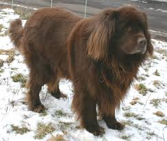 Dogs That Dont Shed Large by Big Dogs That Don T Shed Much Danspalding