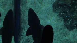 Feet Walking On The Glass Floor Following Swimming Shark Underneath Exploring Sea Life In Oceanarium Stock Video Footage