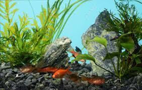 aquarium d eau douce aquarium d eau douce tropicale avec des poissons banque d images