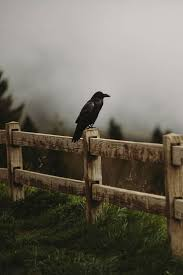 257 Best Sᴘɪʀɪᴛ ᴏғ ʀᴀᴠᴇɴ Images On Pinterest | Crows Ravens ... Ayam Cemani Hybrids Backyard Chickens 25 Beautiful Crow Food Ideas On Pinterest Crows And Raven Backyard Bird Idenfication Outdoor Goods 257 Best S Images Ravens Vulture In My Backyard Youtube Control Sos Wildlife Toronto We Played An Old Mattress The Growing Up 70s A Tale Of Two Roosters Men A Little Farm How Do I Get Rid Of Grass In Garden Area Black Best Photos Animals 2017 Home Lawn Pest How To Get Rid