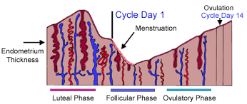 shedding uterine lining before period from ovulation to early pregnancy a week by week cycle tutorial