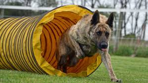 Shedding Blade German Shepherd by Maintaining A Long Haired German Shepherd U2013 Things To Be Done