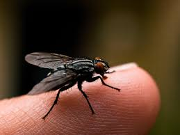 How To Get Rid Of Flies Quickly And Naturally How To Get Rid Of Flies Outdoors Step By South Portland Backyard Latest Battleground In War Against Winter Clean Up Dog Waste From A Backyard 11 Steps The Chicken Chick Flystrike Chickens Causes Quickly And Naturally Whiteflies Identify Old Cluster Fly Facts Control Small Fly Infestation Uk How Get Rid Ants Yard Driveway Easiest Most Fun Way Fruit 25 Unique Outside Ideas On Pinterest Sliding Doors