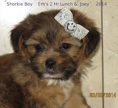 Cute Non Hypoallergenic Dogs by Www Ohpuppylove Com Morkie Shorkie Maltipoo Breeder Puppies