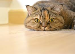 Excessive Hair Shedding In Cats by Scaly Skin In Cats Petmd