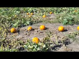 Nekoosa Pumpkin Fest 2017 by Heap U0027s Giant Pumpkin Farm Minooka 10 10 2015 Walking The Pumpkin