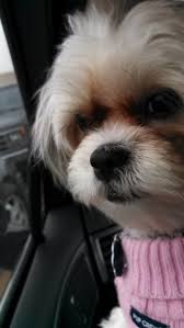 Do Morkies Shed A Lot by Maltese Shih Tzu U003d Malshi Best Dog Ever Pethelpful