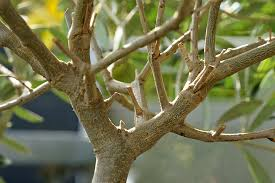 olivenbaum überwintern anleitung und pflege fehler