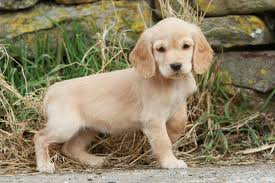 House Dogs That Dont Shed by Cocker Spaniel Dog Breed Information Pictures Characteristics
