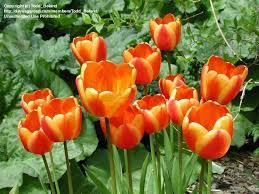 apeldoorn elite tulips images