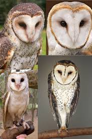 224 Best Barn Owls Images On Pinterest | Barn Owls, Beautiful ... Barn Owl New Zealand Birds Online Audubon California Starr Ranch Live Webcams Barn Red My Pet Pupo The Barn Owl Mouse Youtube Babyowl Explore On Deviantart Adopt An The Wildlife Trusts Wikipedia Owlrodent Research Project Vineyard Owl Lookie My Pet Growing Up Growing Up Album Imgur Made Out Of Wood And Plant Materials I Found At Parents