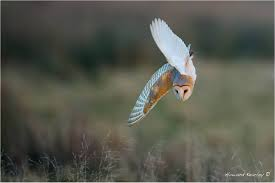 Beautiful Barn Owls - Pulborough Brooks - Pulborough Brooks - The ... White And Brown Barn Owl Free Image Peakpx Sd Falconry Barn Owl Box Tips Encouraging Owls To Nest Habitat Diet Reproduction Reptile Park Centre Stock Photos Images Alamy Bird Of Prey Tyto Alba Video Footage Videoblocks Barn Owl Tyto A Heart Shaped Face Buff Back Wings Bisham Group Bird Of Prey Clipart Pencil In Color British Struggle Adapt Modern Life Birdguides Beautiful Owls Pulborough Brooks The