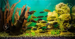 poisson eau douce aquarium tropical un beau vert aquarium tropical d eau douce planté avec des