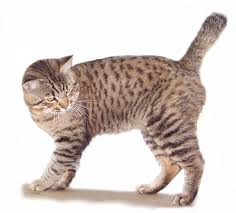 bobtail cat american bobtail