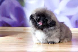 pekingese dog breed information pictures characteristics facts