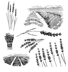 Lavender Flower Field Coloring Pages PagesFull Size Image