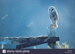 Barn Owl (Tyto Alba), Perched On A Farm Gate, United Kingdom Stock ... This Galapagos Barn Owl Lives With Its Mate On A Shelf In The Baby Barn Owl Owls Pinterest Bird And Animal Magic Tito Alba Sitting On Stone Fence In Forest Barnowl Real Owls Echte Uilen Wikipedia Secret Kingdom Young Tyto Roost Stock Photo 206862550 Shutterstock 415 Best Birds Mostly Uk Images Feather Nature By Annette Mckinnnon 63 2 30 Bird Great Grey
