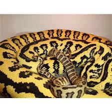 Carpet For Sale Sydney by Jaguar Pythons Carpet Pythons Childrens Pythons Sale Amazing Amazon