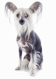 Cute Non Shedding Dog Breeds by 35 Dog Breeds That Don U0027t Shed Small Medium U0026 Large Breeds
