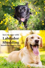 Dogs That Dont Shed Bad by Labrador Shedding It U0027s The Moulting Season Again