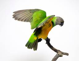 Quiet Small Non Shedding Dog Breeds by Five Of The Quieter Pet Bird Species