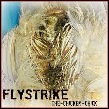 The Chicken Chick®: Flystrike In Backyard Chickens, Causes ... 721 Best Chickens Ducks Images On Pinterest Keeping Your Healthy Backyard The Chicken Chick Salpingitis Lash Eggs In Backyard Vignette Design Design Bucket List 4 10 Things Ive Learned In My First Year Of Having Benefits Urban Farming Raising 3 Steps With Pictures Hipster Easter Here Are Some Organic Soyfree Naturally Flystrike Causes Back Juan Manuel Malnado Predators Myth Supervised